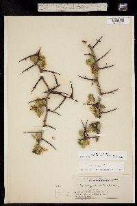 Crataegus erythropoda image