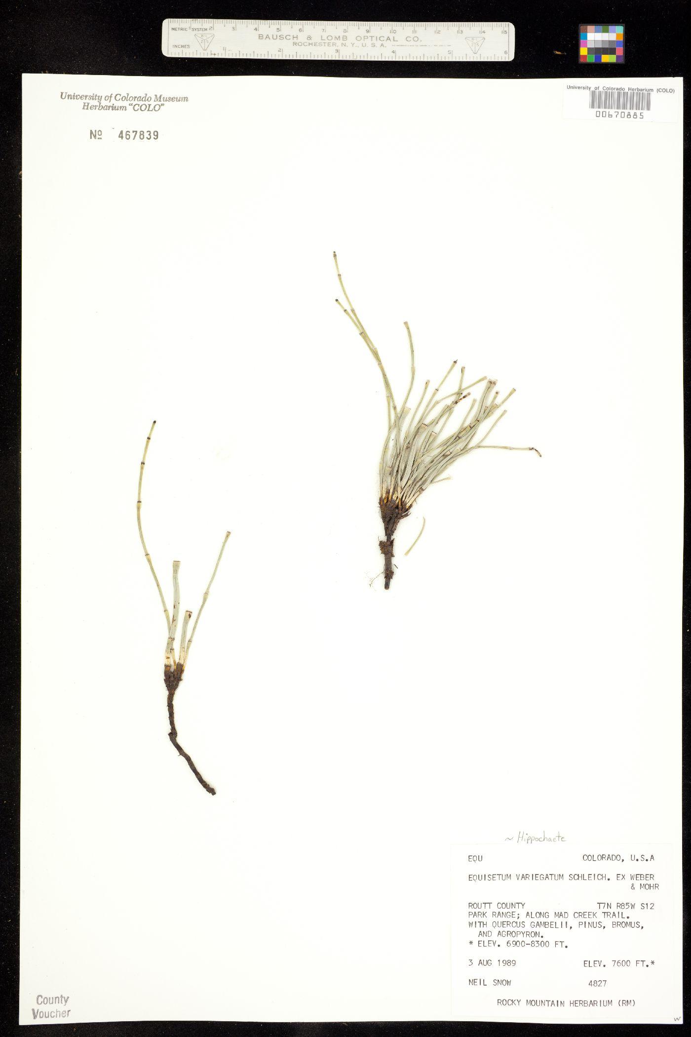 Hippochaete image