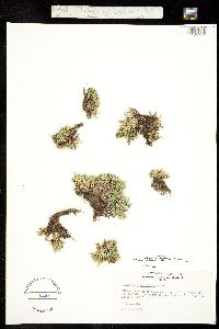 Selaginella scopulorum image