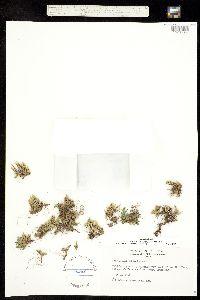 Selaginella standleyi image