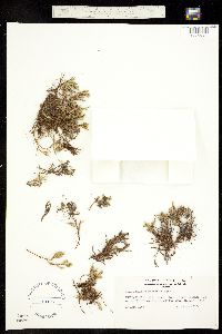 Selaginella weatherbiana image