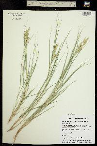 Distichlis spicata ssp. stricta image