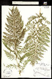 Athyrium distentifolium subsp. americanum image
