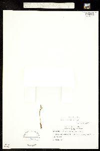 Botrychium echo image