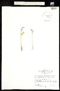 Botrychium hesperium image