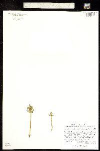 Botrychium lanceolatum image