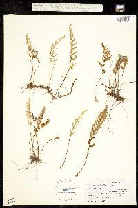 Myriopteris fendleri image