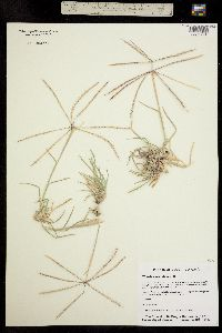 Image of Chloris verticillata
