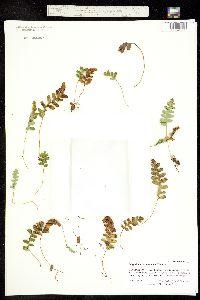 Polypodium saximontanum image