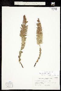 Polystichum lonchitis image