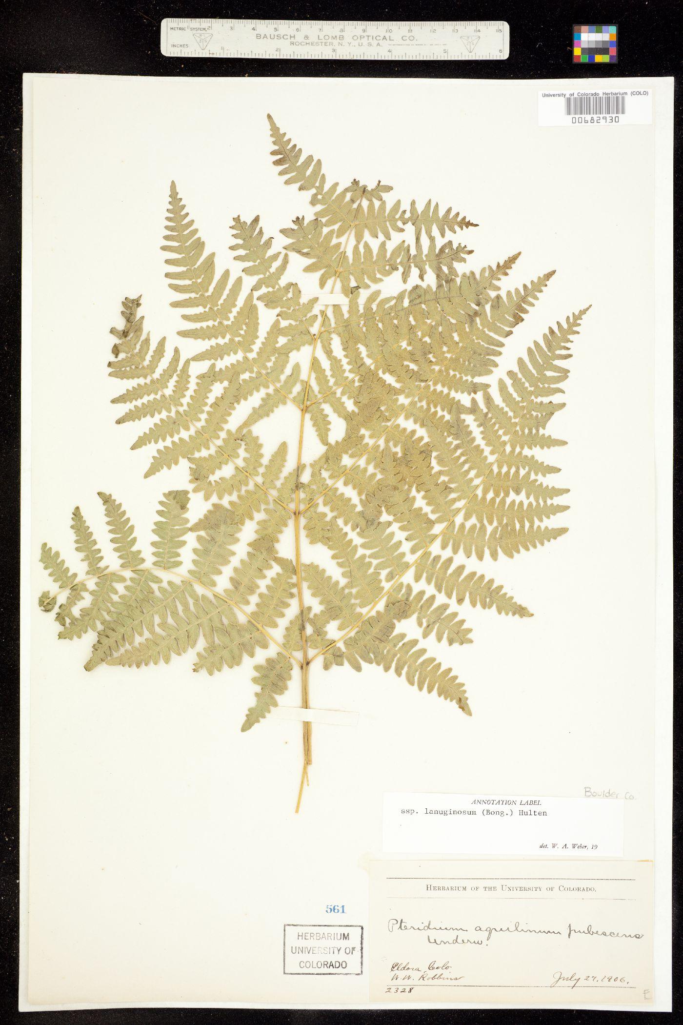 Pteridium aquilinum ssp. lanuginosum image