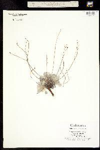 Image of Eriogonum tenellum