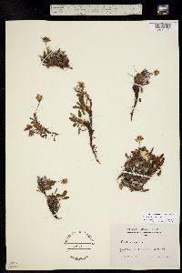 Image of Dryas hookeriana
