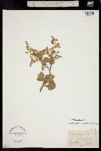Holodiscus dumosus image