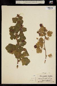 Rubus deliciosus image