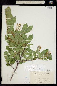 Padus virginiana ssp. melanocarpa image