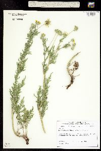 Image of Engelmannia peristenia