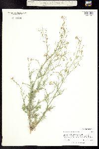 Descurainia pinnata subsp. brachycarpa image