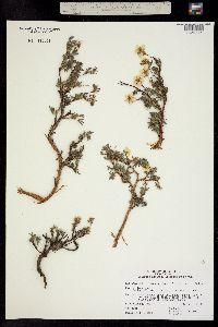 Pentaphylloides floribunda image