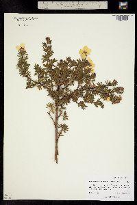 Dasiphora fruticosa image