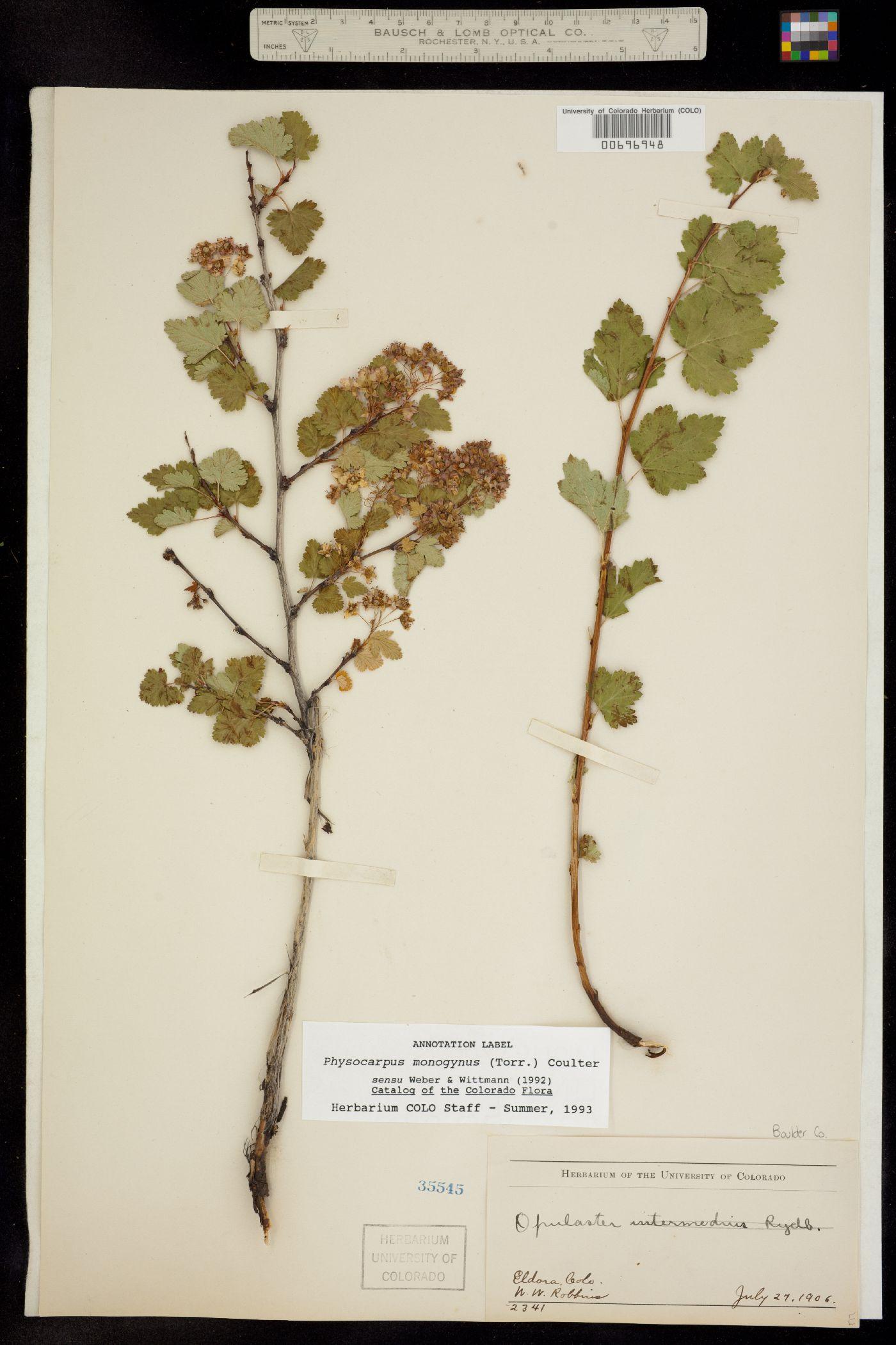 Physocarpus image