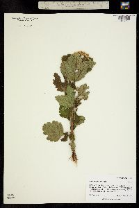 Image of Physocarpus opulifolius