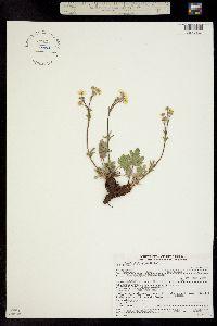 Potentilla X diversifolia image