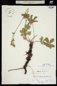 Image of Potentilla brunnescens