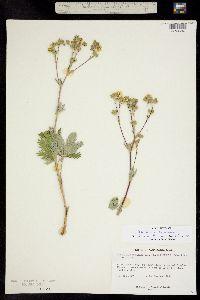 Image of Potentilla flabelliformis
