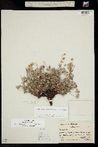 Image of Potentilla hookeriana