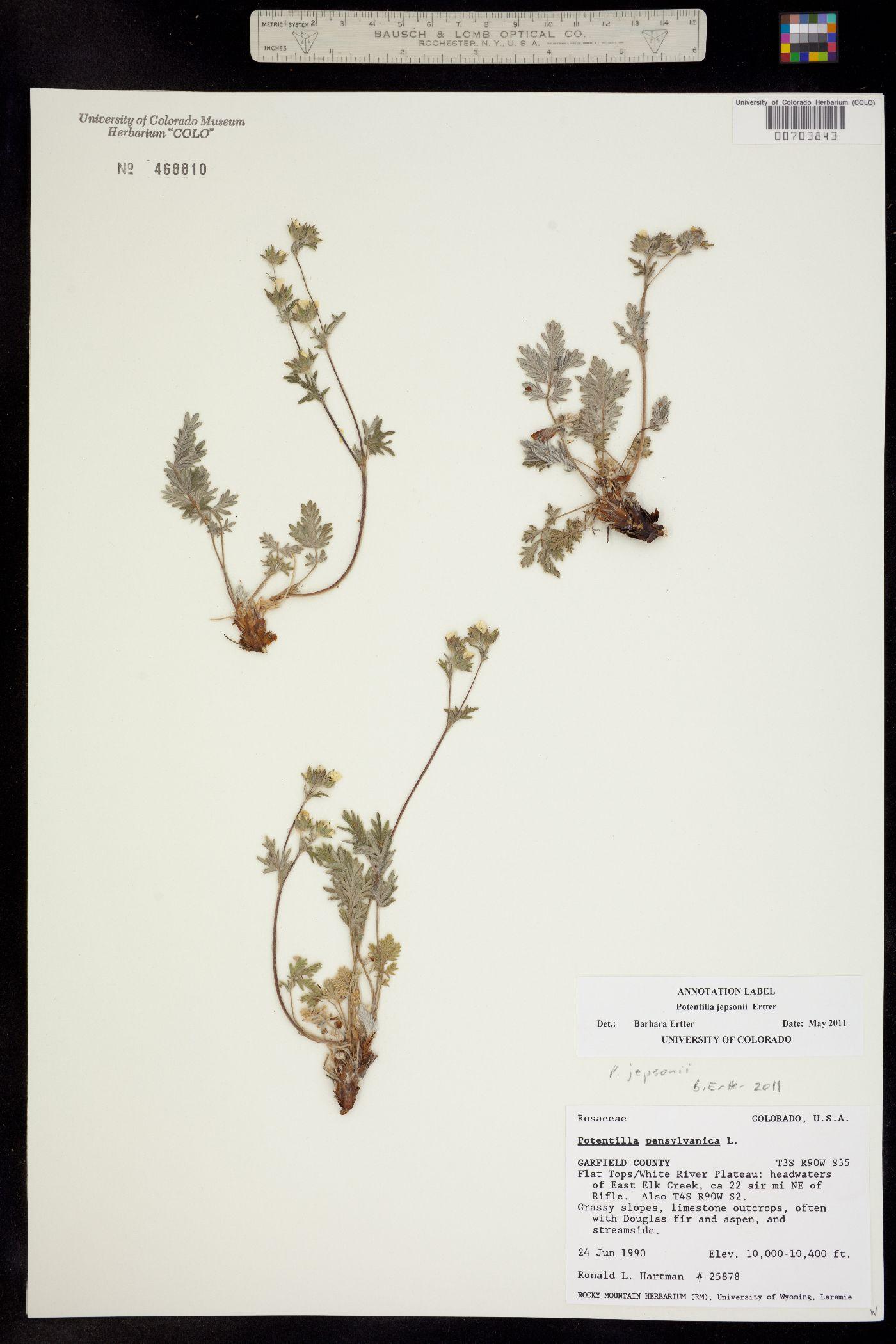 Potentilla jepsonii image