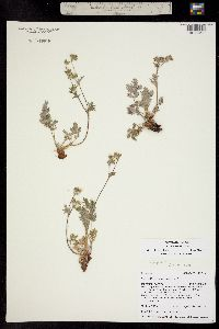 Image of Potentilla jepsonii