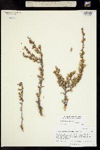 Image of Purshia stansburiana x tridentata