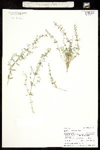 Galium coloradoense image