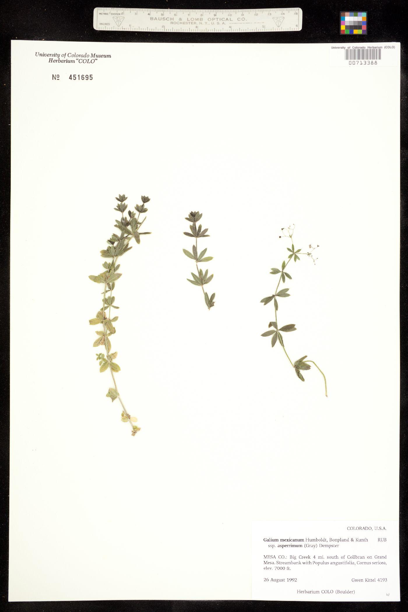 Galium mexicanum ssp. asperrimum image