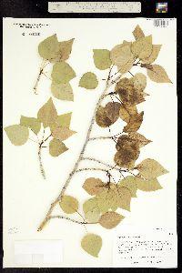 Populus acuminata image