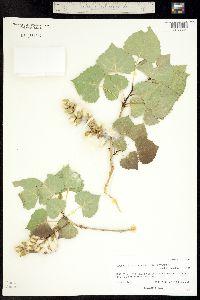 Populus deltoides ssp. wislizenii image