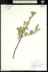 Image of Salix boothii