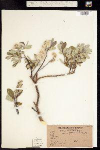Image of Salix drummondiana