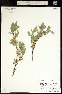 Image of Salix wolfii