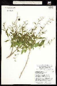 Sapindus saponaria var. drummondii image