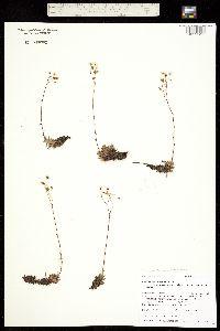 Ciliaria austromontana image