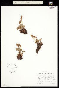 Image of Heuchera bracteata