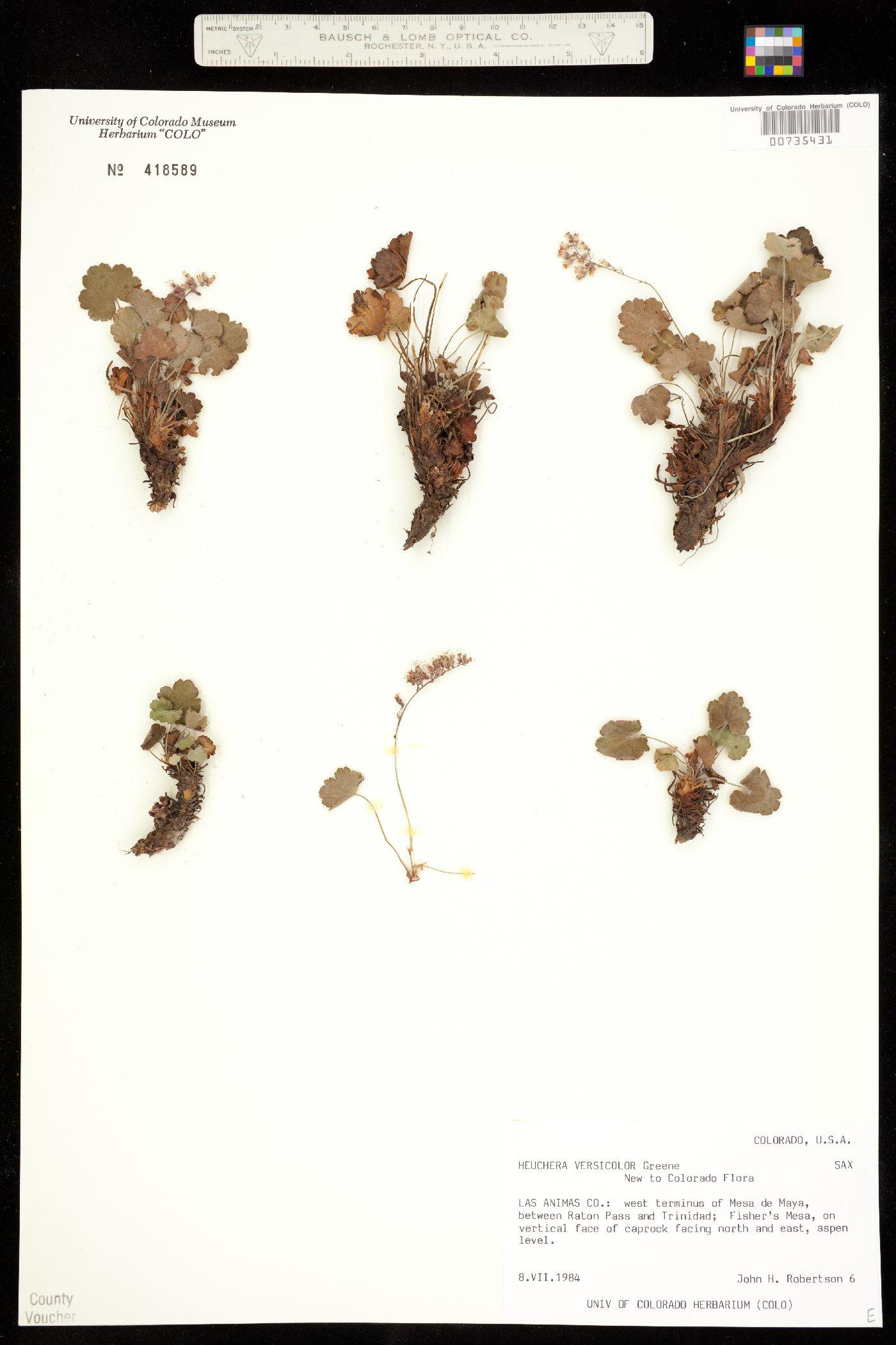 Heuchera versicolor image
