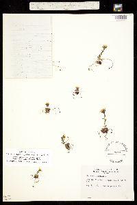 Hirculus platysepalus ssp. crandallii image