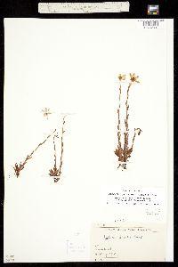Image of Saxifraga hirculus