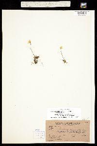 Image of Saxifraga chrysantha