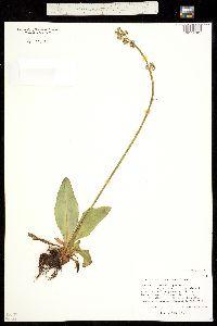 Micranthes oregana image