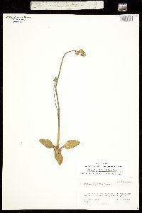 Micranthes rhomboidea image