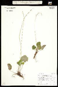 Mitella stauropetala var. stenopetala image
